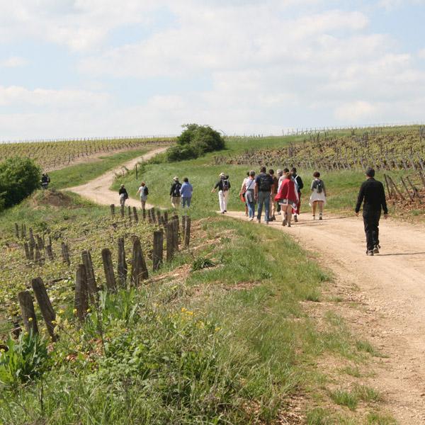 randonnée pays coulangeois auxerrois yonne cerises vigne