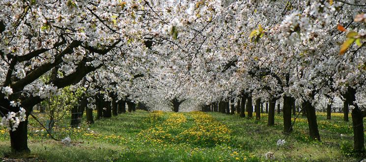 cerisiers pays coulangeois en fleurs coulanges la vineuse jussy yonne